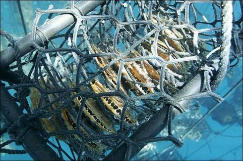 Plongeurs inspectant les essaims immergés