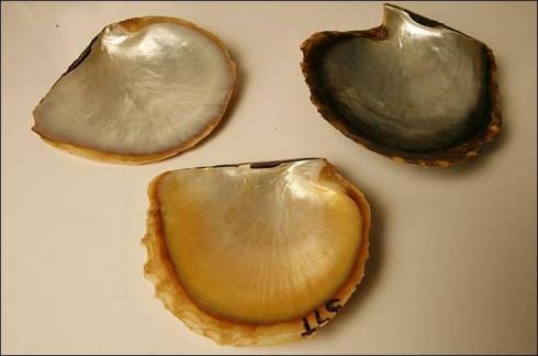 Coquilles de perles d'Australie