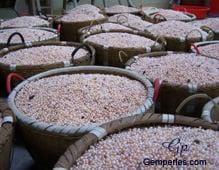 Paniers remplis de perles de culture d'eau douce fraîchement  récoltées