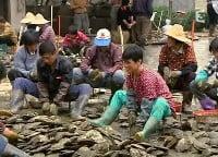 Ouvriers agricoles ouvrant des moules d'eau douce