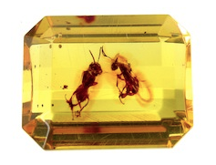 Ambre insectifère