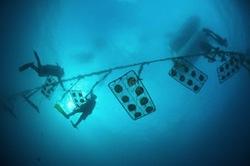 Culture des perles en eau de mer. Ici avec des plongeurs