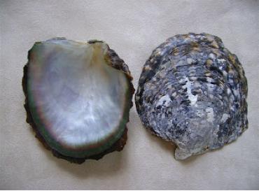 Coquille d'une huître