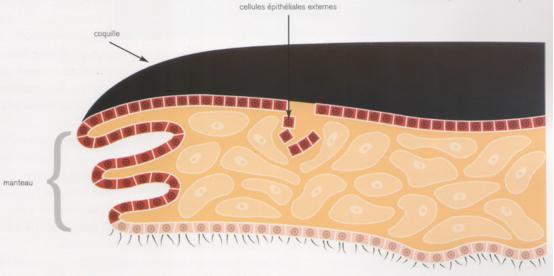Ces cellules épithéliales vont se multiplier par division cellulaire et se lient entre elles