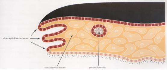 Le manteau endommagé se guérit par la production de nouvelles cellules épithéliales. Piégées dans le tissu conjonctif, les cellules épithéliales forment un kyste qu'on appelle sac perlier. Il va sécréter la substance perlière en couches concentriques. La perle et son sac perlier s'accroissent ainsi lentement