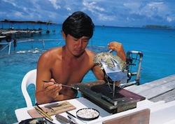 Opération de greffage d'une huître perlière