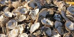 Mortalité des huîtres