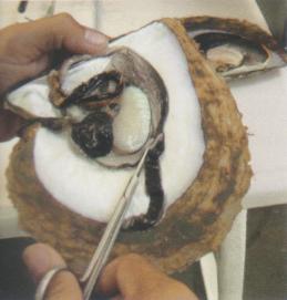 Parties essentielles d'une huître perlière