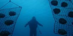 Culture des huîtres perlières en pleine mer, ici en Australie