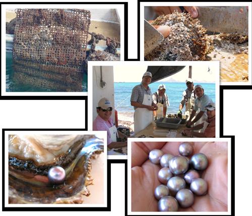 Récolte des perles de culture